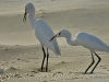 Egrets at Breakfast