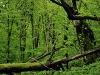 Dobra Urwald - Dobra Ancient Forest