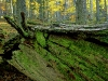 Old Growth Forest, Lower Austria