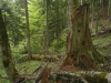 Perucica Virgin Forest