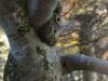 Old Beech Tree - Duerrenstein Wilderness