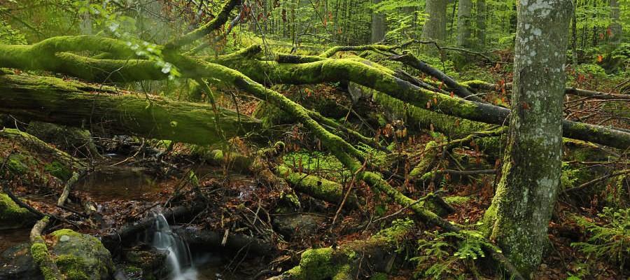 Nationalpark Bayerischer Wald, Bayern: Morgenlicht im Urwaldgebiet Mittelsteighütte bei Zwiesler Waldhaus. Früher diente die Waldwildnis als schlecht durchquerbare Schutzzone gegen eindringende Feinde. (c) Matthias Schickhofer