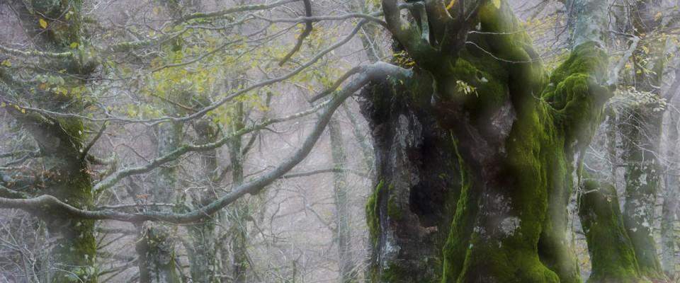 Video preview of my book: Unser Urwald. Veteran Beech, Abruzzo National Park, Italy. (c) Matthias Schickhofer