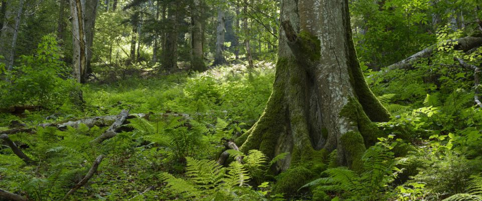 Ancient forest of Ucea Mare in Fagaras mountains